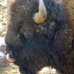 Bison exhibiting tongue dexterity