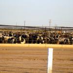 Cow posse