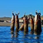Pelicans - Bahia Magalena